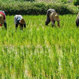 برنج شمال بصورت عمده