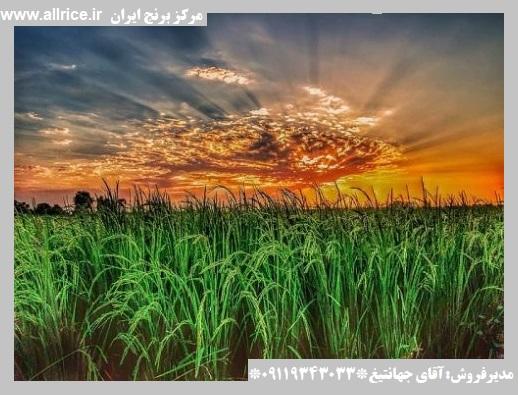 قیمت روز برنج