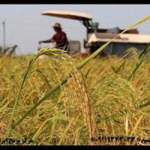 قیمت برنج دمسیاه