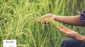 خرید برنج علی کاظمی درجه یک