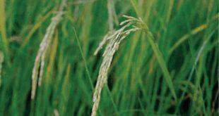 قیمت برنج شمشیری
