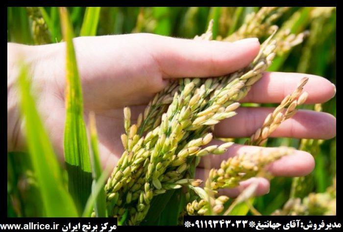 برنج دم سیاه دودی