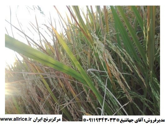 و فروش برنج شمشیری e1578582384744