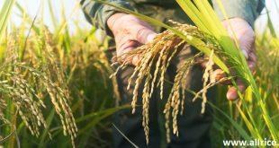 برنج فجر سوزنی را چرا بخریم