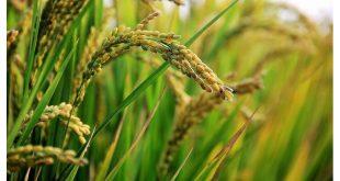 قیمت برنج شیرودی