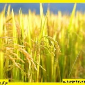 قیمت برنج حسن سرایی