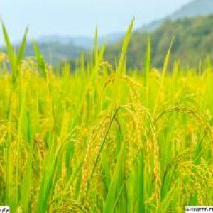 قیمت برنج دم سیاه مینودشت