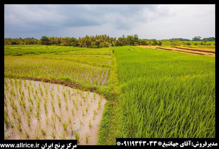 خرید برنج طارم