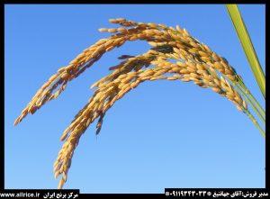 فروش برنج طارم هاشمی