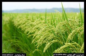 فروش برنج نیم دانه ارزان
