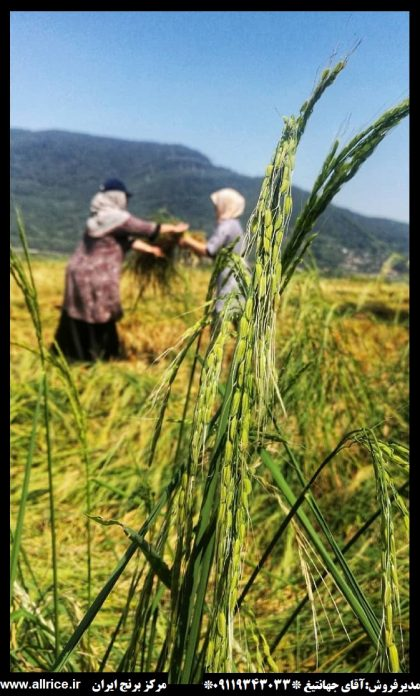 فروش برنج هاشمی درجه 1