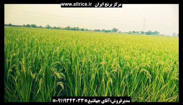 برنج شمشیری