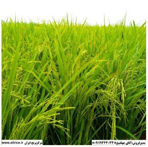 برنج شیرودی مرغوب