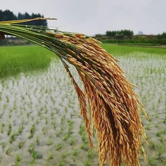 قیمت برنج فجر استخوانی / خرید عمده انواع برنج فجر با تخفیف 20%