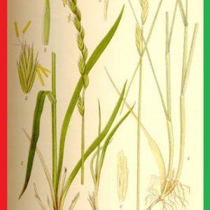 قیمت برنج فجر استخوانی