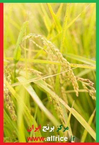 برنج دم سیاه استخوانی