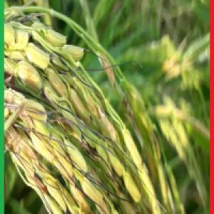 برنج دم سیاه گلستان