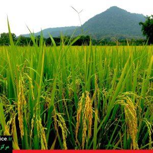 خرید برنج ارزان ایرانی