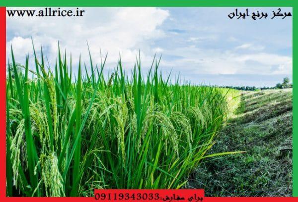 خرید برنج فجر گرگان اعلا