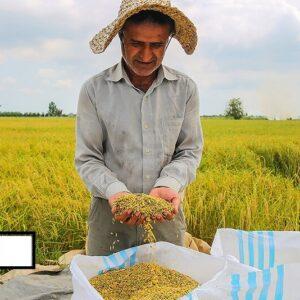 برنج فجر محلی را ارزان بخرید