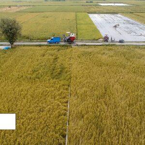 صادرات برنج ایرانی