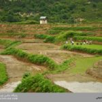خرید عمده برنج ایرانی شمال