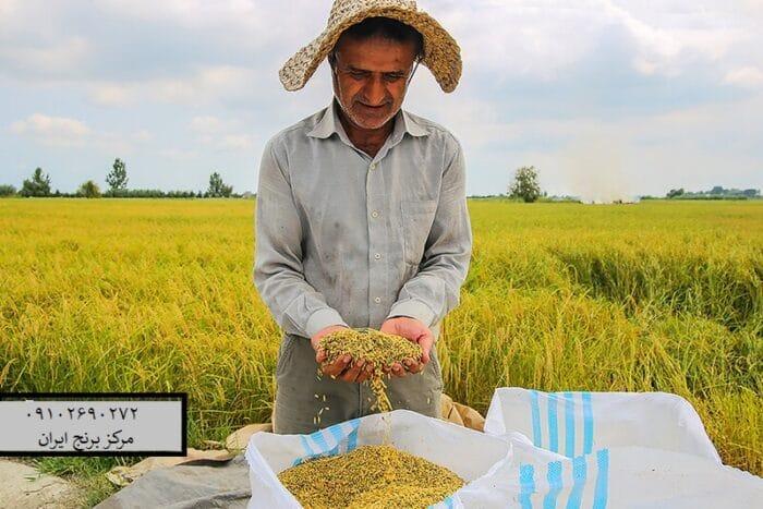 برنج هاشمی را می توان برنجی نامید که توسط کشاورزان توسعه پیداکرده است و مراکز تحقیقاتی و سازمان های دولتی هیچ نقشی در ترویج این رقم نداشتند. علت علاقه بالای مردم و محبوبیت بی نظیر این محصول را می توان ماندگاری بالای این محصول عنوان کرد به طوری که تا ساعت ها بعد از پخت نرمی و طعم خوب خود را حفظ می کند. نام برنج طارم هاشمی به واسطه کشاورزی که این نوع برنج را توسعه داده بر روی این برنج گذاشته شده است. طول ری کشی خام دانه در هاشمی ۷۶ میلی متر و طول ری کشی دانه بعد از پخت به ۱۳۱ میلی متر هم می رسد و دارای درصد آمیلوز ۲۰۱ می باشد. به طور حتم این محصول را می توان یکی از خوش پخت ترین برنج های ایرانی نامید که مورد استفاده زیادی هم در مصارف خانگی و هم در رستوران ها و تالارها دارد