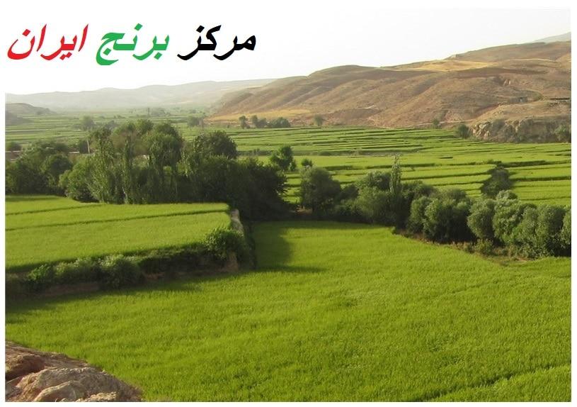 برنج فجر علی آباد کتول