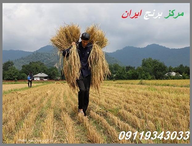 قیمت برنج فجر علی آباد کتول