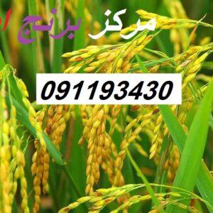 فروش عمده برنج فجر مینودشت