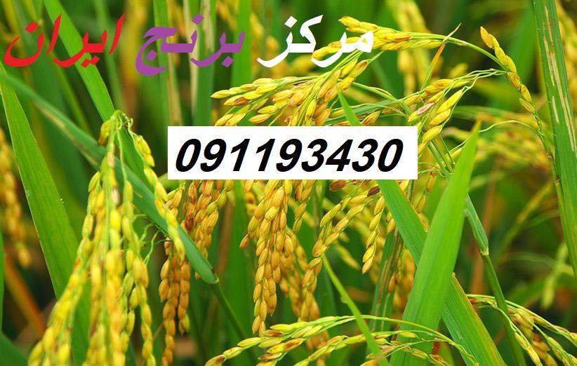 قیمت برنج ایرانی شمال